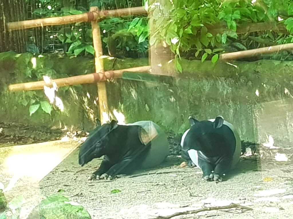 Singapore Zoo - Malayan Tapir