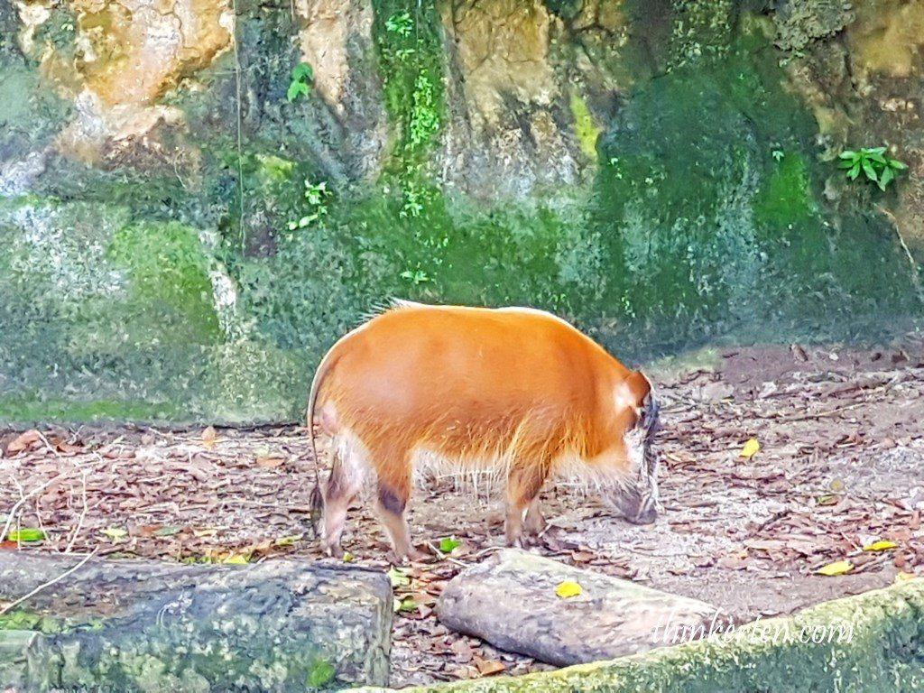 Singapore Zoo - Red River Hog