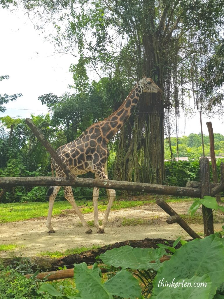 How do giraffe sleep in Singapore Zoo