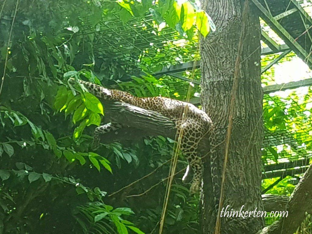 leopard in Singapore Zoo