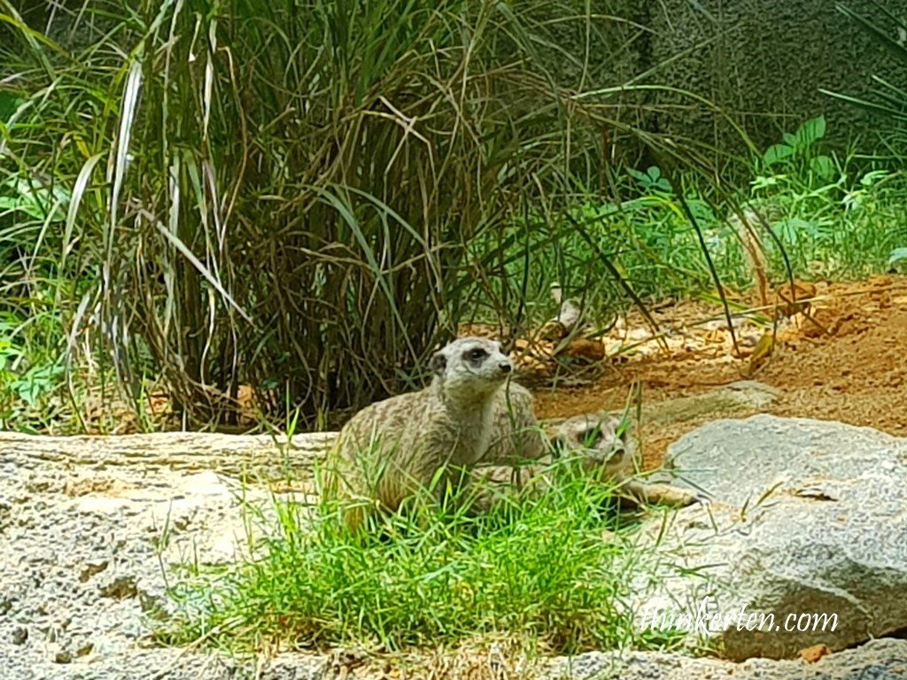 Meerkat in Singapore Zoo
