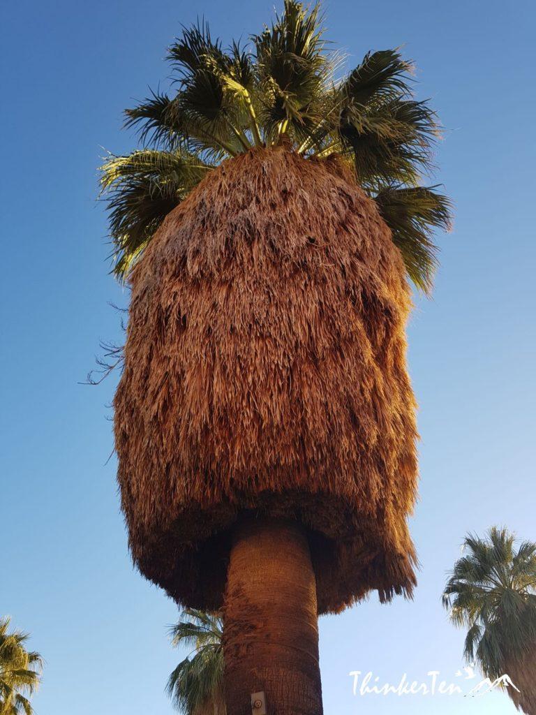 Pan California Palm Tree at Palm Springs California