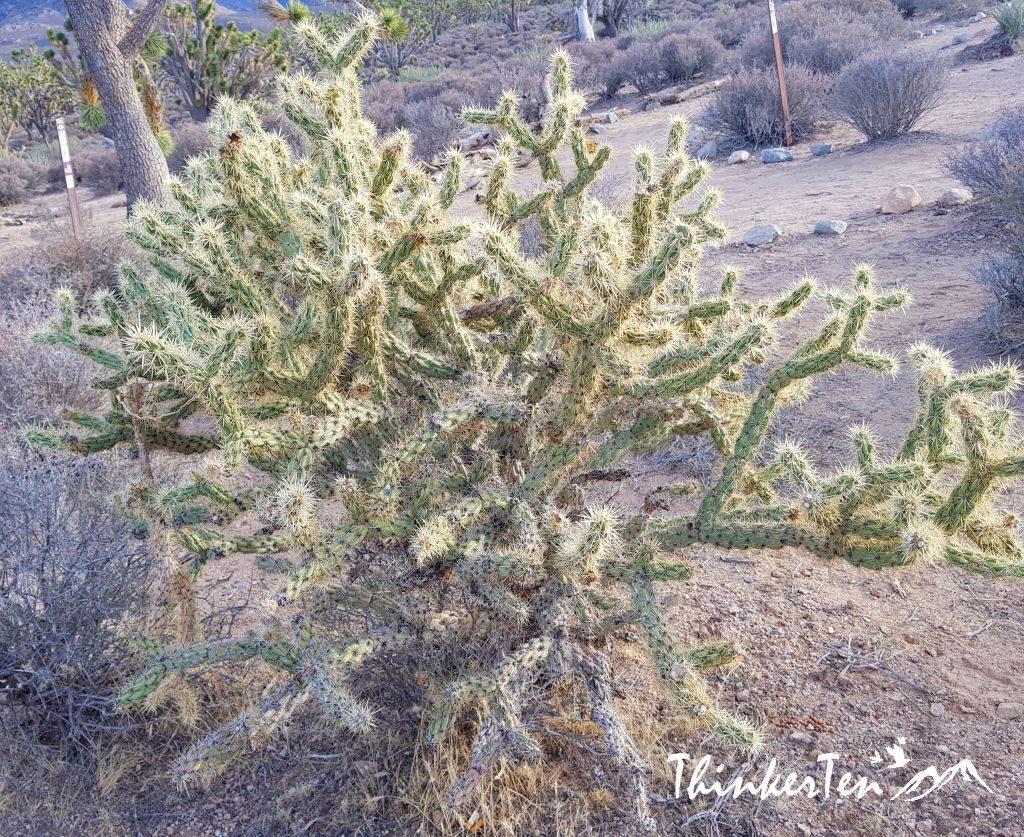 Grapevine Mesa Joshua Trees Forest
