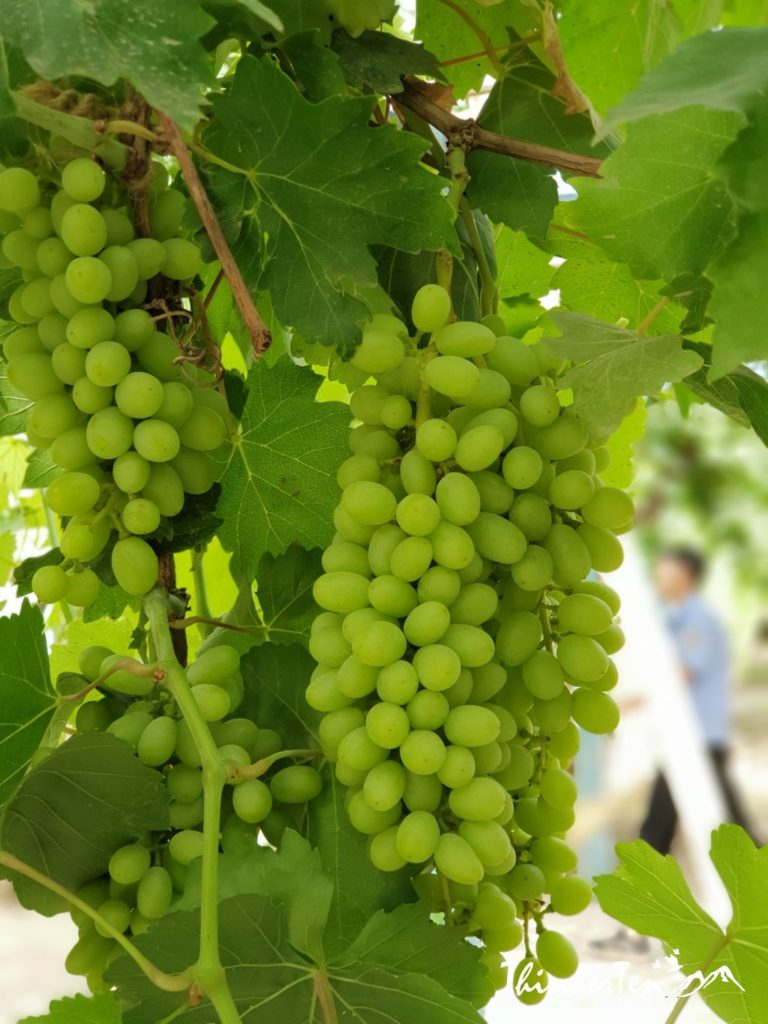 Xinjiang :Grape Valley in the middle of Hot Desert Turpan! 吐鲁番葡萄沟
